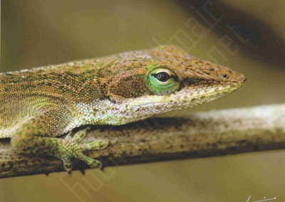 """""""Green Anole"""""""