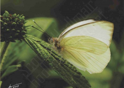 """Florida White Butterfly"""