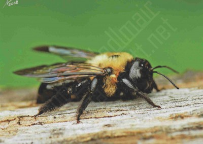 """Eastern Carpenter Bee"""