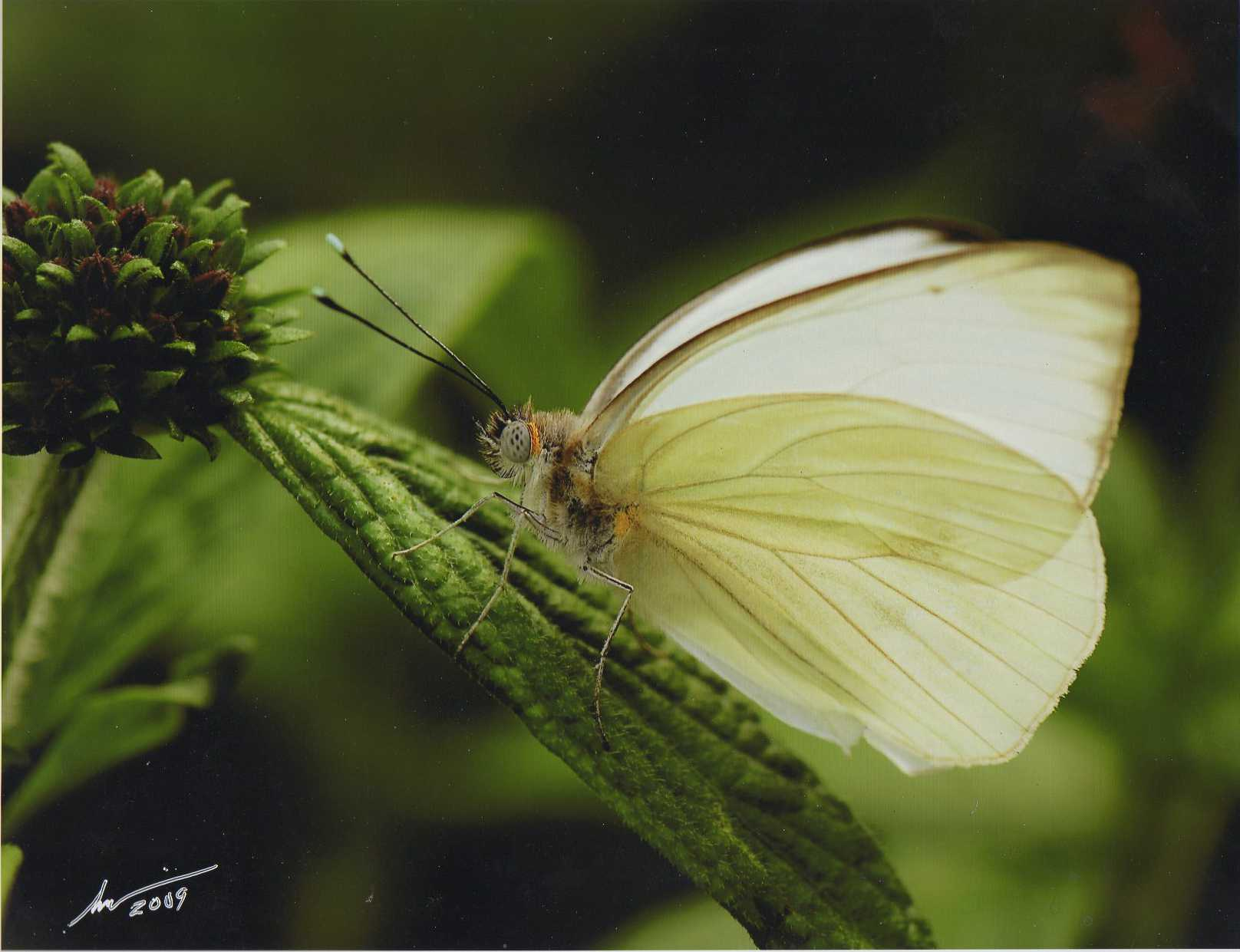 """Florida White Butterfly"" Photo by Scott E. Hodlmair"